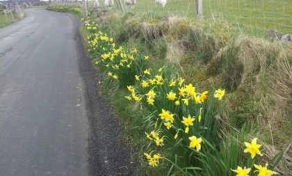 B788 daffodils