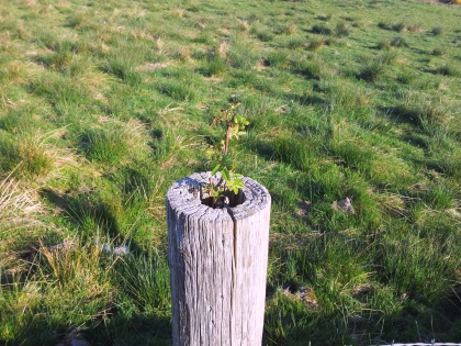 Sorbus Aucuparia growing in the top of a fence post