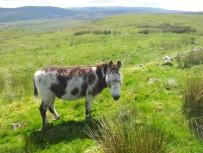 Wild donkey on Dunrod