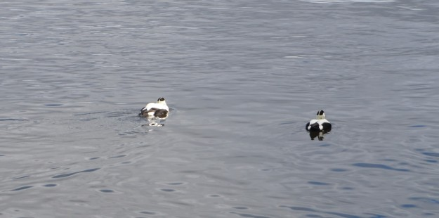 a pair of Eiders