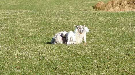 Mum and her lambs