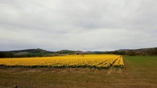 Bulb fields 1